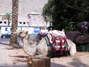 Happy Camel!